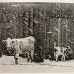 Cows in Snowstorm