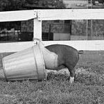 """Pig in the Pail"" New York State"