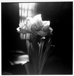 Bruce Cratsley (American, 1944-1998). <em>Billy's Amarillis in Bloom</em>, 1995. Gelatin silver photograph, image/sheet: 14 1/2 x 14 3/4 in. (36.8 x 37.5 cm). Brooklyn Museum, Gift of Mr. and Mrs. Gilbert Millstein, 1995.131.5. © artist or artist's estate (Photo: Brooklyn Museum, 1995.131.5_bw.jpg)