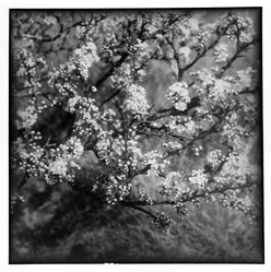 Bruce Cratsley (American, 1944-1998). <em>Windy Willows, Blooming Branches (Cherry Blossoms, Thuro. Mass.)</em>, 1993. Selenium-toned gelatin silver photograph, image: 9 1/2 x 9 1/4 in. (24.1 x 23.5 cm). Brooklyn Museum, Gift of Jonathan L. Fagin, 1995.207.2. © artist or artist's estate (Photo: Brooklyn Museum, 1995.207.2_bw.jpg)