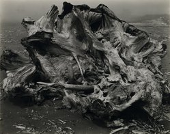Edward Weston (American, 1886-1958). <em>Drift Stump, North Coast</em>, 1939. Gelatin silver photograph, Image: 7 1/2 x 9 3/4 in. (19.1 x 24.8 cm). Brooklyn Museum, Frank L. Babbott Fund and Frederick Loeser Fund, 46.75.4. © artist or artist's estate (Photo: Brooklyn Museum, 46.75.4_PS2.jpg)