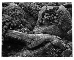 Edward Weston (American, 1886-1958). <em>Cypress and Stone Crop</em>, 1941. Gelatin silver photograph, Image: 7 1/2 x 9 5/8 in. (19.1 x 24.4 cm). Brooklyn Museum, Frank L. Babbott Fund and Frederick Loeser Fund, 46.75.7. © artist or artist's estate (Photo: Brooklyn Museum, 46.75.7_bw.jpg)