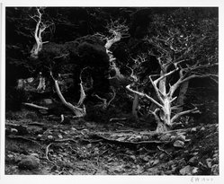 Edward Weston (American, 1886-1958). <em>Cypress, Point Lobos</em>, 1940. Gelatin silver photograph, Image: 7 1/2 x 9 5/8 in. (19.1 x 24.4 cm). Brooklyn Museum, Frank L. Babbott Fund and Frederick Loeser Fund, 46.75.8. © artist or artist's estate (Photo: Brooklyn Museum, 46.75.8_bw.jpg)