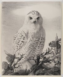 Stow Wengenroth (American, 1906-1978). <em>Barred Owl Perched on Evergreen Branch</em>, ca. 1960. Crayon, graphite, and ink on paperboard, sheet: 21 1/4 x 17 3/8 in. (54 x 44.1 cm). Brooklyn Museum, Gift of the Estate of Emily Winthrop Miles, 64.98.309. © artist or artist's estate (Photo: Brooklyn Museum, 64.98.309_IMLS_PS4.jpg)