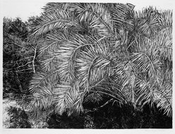 Patricia Tobacco Forrester (American, 1940-2011). <em>Great Palm</em>, 1974. Etching, Sheet: 22 3/8 x 30 1/16 in. (56.8 x 76.4 cm). Brooklyn Museum, Designated Purchase Fund, 77.77.2. © artist or artist's estate (Photo: Brooklyn Museum, 77.77.2_bw.jpg)