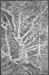 Patricia Tobacco Forrester (American, 1940-2011). <em>Regal Buckeye</em>, 1977. Watercolor on paper, Sheet: 80 1/2 x 51 3/4 in. (204.5 x 131.4 cm). Brooklyn Museum, Caroline H. Polhemus Fund, 78.9. © artist or artist's estate (Photo: Brooklyn Museum, 78.9_bw.jpg)