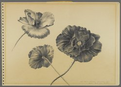 Peter Blume (American, 1906-1992). <em>Untitled (Three Desert Poppies)</em>, 1950. Graphite on paper, 9 3/4 x 13 7/8 in. (24.8 x 35.2 cm). Brooklyn Museum, Bequest of Nancy S. Holsten in memory of Edward L. Holsten, 87.204.12. © artist or artist's estate (Photo: Brooklyn Museum, 87.204.12_PS4.jpg)