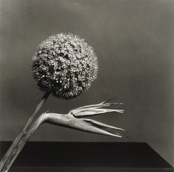 Robert Mapplethorpe (American, 1946-1989). <em>Birds of Paradise</em>, 1979. Gelatin silver photograph, Sheet: 19 3/4 x 16 in. (50.2 x 40.6 cm). Brooklyn Museum, Charles Stewart Smith Memorial Fund, 88.8. © artist or artist's estate (Photo: Brooklyn Museum, 88.8.jpg)