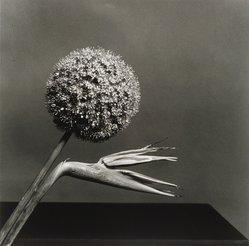 Robert Mapplethorpe (American, 1946-1989). <em>Birds of Paradise</em>, 1979. Gelatin silver photograph, Sheet: 19 3/4 x 16 in. (50.2 x 40.6 cm). Brooklyn Museum, Charles Stewart Smith Memorial Fund, 88.8. © artist or artist's estate (Photo: Brooklyn Museum, 88.8.jpg)