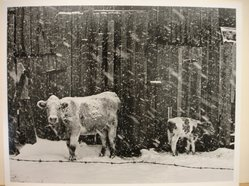 Builder Levy (American, born 1942). <em>Cows in Snowstorm</em>, 1970. Toned gelatin silver photograph, sheet: 10 3/4 × 13 3/4 in. (27.3 × 34.9 cm). Brooklyn Museum, Gift of Mr. and Mrs. Harold J. Levy, 1990.174.2. © artist or artist's estate (Photo: Brooklyn Museum, CUR.1990.174.2.jpg)