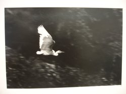 W. Eugene Smith (American, 1918-1978). <em>[Untitled] (Egret in Flight)</em>, 1954. Gelatin silver photograph, Sheet: 10 1/2 x 13 in. (26.7 x 33 cm). Brooklyn Museum, Gift of Philip Goutell, 87.245.3. © artist or artist's estate (Photo: Brooklyn Museum, CUR.87.245.3.jpg)